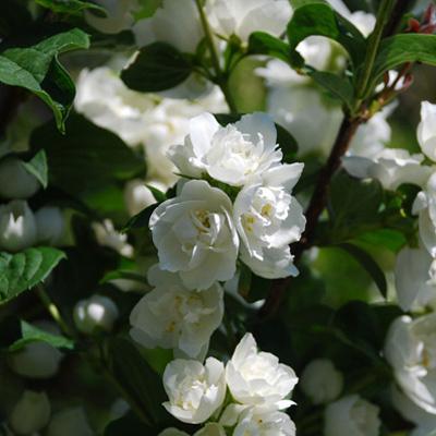 Жасмин садовый Алебастр (чубушник)