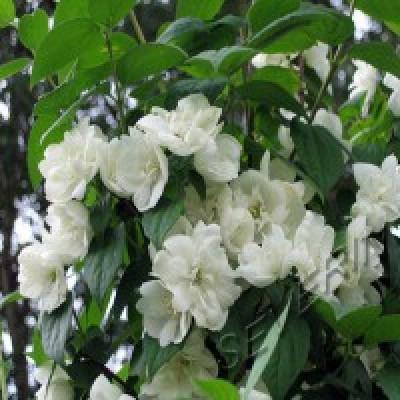 Жасмин садовый (чубушник) Мажори