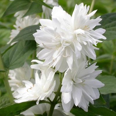 Жасмин садовый (чубушник) Миннесота Сноуфлэйк